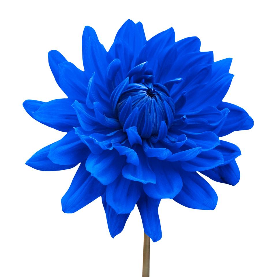 Blue Dahlia Flower against White Background