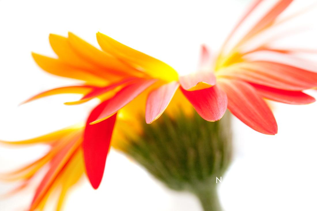 Gerbera Mix Crazy Flower - Orange Yellow