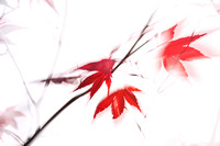 Maple Leaf Abstract 1 - Natalie Kinnear Photography