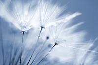 Blue Dandelion Clock and Water Droplets