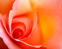 Romantic Red Orange Rose