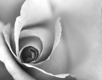 Rose Close Up - Black and White