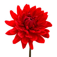 Red Dahlia Flower against White Background