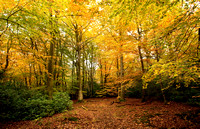 Autumn Woodland I