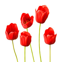 Red Tulips White Background