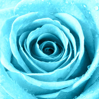 Rose with Water Droplets - Turquoise