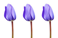 Three Purple Tulips in a Row