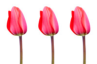 Three RedTulips in a Row