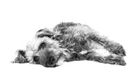 Cute Pup Lying Down- Black and White