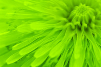 Bright Lime Green Dandelion Close Up
