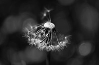 The Underrated Dandelion 2 - Natalie Kinnear Photography