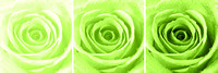 Rose Trio - Lime Green