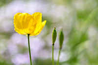 Yellow Welsh Poppy - Natalie Kinnear Photography