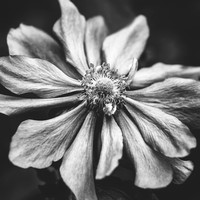 Anemone Photographic Art in Black and White by Natalie Kinnear Photography