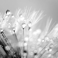 Dandelion Seed with Water Droplets in Black and White