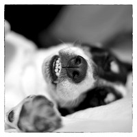 Cute Sleeping Jack Russell Terrier - Black and White