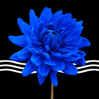 Dahlia Flower and Wavy Lines Triptych Canvas 2 of 3 - Blue