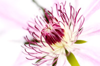 Pink Clematis Close Up - Dreamy