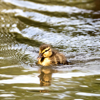 Duckling Paddling in the Sunshine - Natalie Kinnear Photography