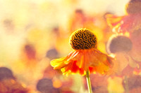 Sunlit Helenium Flowers with Texture Effect - Natalie Kinnear Photography - Print & Canvas Wall Art