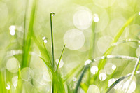 Dewdrops in the Sunlit Grass - Natalie Kinnear Photography - Print and Canvas Wall Art