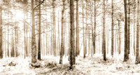 Sunlit Hazy Forest Trees in Neutral Colors - Natalie Kinnear Photography - Print and Canvas Wall Art