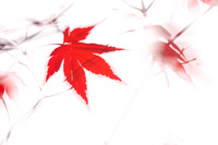 Maple Leaf Abstract 2 - Natalie Kinnear Photography