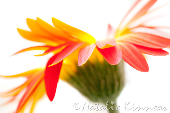 Gerbera Mix Crazy Flower - Orange Yellow