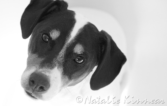 jack russell terrier black and white - photo #26
