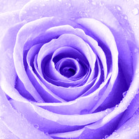 Rose with Water Droplets - Purple