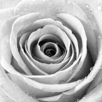 Rose with Water Droplets - Black and White