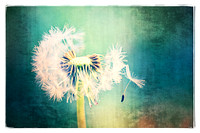 Just Dandy - Natalie Kinnear Photography - Print and Canvas Wall Art